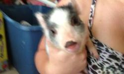 I have 1 male mini pig. 9 weeks old. Eating good on his own. This baby is not a potbelly. Mom and dad are 3 yrs. old and weigh between 15 - 20 lbs. $200 Thanks, Pam. 904/ 229-1605. This ad was posted with the eBay Classifieds mobile app.