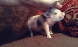 Beautiful litter of mini piglets for sale. All spotted. 4 males 2 females. Taking deposits , they can go in about 3 weeks. $500 ea. cash only parents here to see. Aprox 50 lbs .both spotted as well. Piglets sold not fixed, and you have breeding rights.