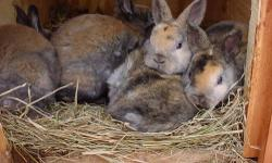 mini rex bunnies for sale . multi and solids. . Also nice new rabbit hutches. for $145.00 e-,mail me for details.