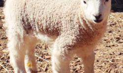 Paradise Valley Farm has some adorable sheep for sale! Harlequins, Shetlands & Cross Breeds! Ewe's & Rams! Click link for individual pricing and information. http://www.minilivestock.com/sheep1.html If interested please contact Animal Sales at