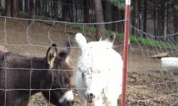 Miniature Donkey herd reduction. Job keeps me on the road. Available Two spotted brothers, very friendly and already gelded. Two pet Jenny's one brown and one white. One baby dark brown boy. Priced from $800. Discounts on pairs. Call for information Jeri