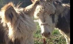 Miniature donkeys. Two spotted brothers. These donkeys are already gelded (altered), up to date on shots, worming and hoof care. They are micro-chipped and registered. Very friendly and ready for a family. $900.00 each or a package price for two. No e