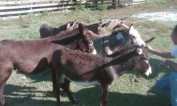 Hello I am selling some of my mini donkeys. I am only willing to sell them in pairs of 2 so that they won't be alone. I'm asking for 500 dollars for 2 of them. I have various colored ones (browns, greys, blacks, spotted). They are roughly 2-3 years old in
