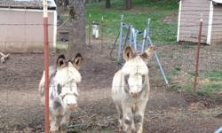 Miniature donkeys price reduced 600 each friendly spotted geldings. One white and one brown Jenny pet. Call 530-626 -5959
