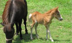 Dolly is a sorrel female miniature horse who's 6 months old. She's a real sweetie and loves peppermints. She's been hand-raised and gets along well with larger horses. The first picture is Dolly with her mama and was taken shortly after her birth last