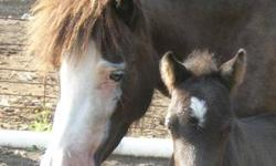 """Miniature Horse Colt Foal Birth Date: June 30, 2013 Sex: Colt (male) Color: Solid Black 2 White Rear Socks Star Birth Height: 17"""" inches Predicted Mature Height: 31"""" inches Selling Price: $400.00 Deposit: $100.00 to secure Balance at pick-up Weaning: 10 -"""