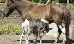 """Miniature Horse Filly Foal - $500 Birth Date: May 26, 2013 Sex: Filly (female) Color: 50/50 Black & White Painted Birth Height: 17"""" inches Predicted Mature Height: 31"""" inches Selling Price: $500.00 Deposit: $100.00 to secure / Balance at pick-up Weaning:"""