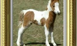 Miniature Horse - Tiny Dancer - Small - Adult - Female - Horse Tiny Dancer is a 12 year old bay mini mare. She stands 9 hh and is learning that people can be trusted since she arrived at Doxys. Tiny Dancer gets along well with the other horses and is more