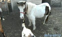 Two miniature horses. Both Shela's. One is red w/ blonde mane and tail, Gypsy, she is 2.5 years old, very gentle, tame, easy to handle. One is tobiano/chocolate paint, she is 4.5, she was timid, but does open up before long, she has excellant manners as