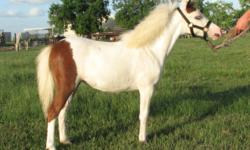 I have a few miniature horses and ponies for sale. Most of them are registered in at least one association: (AMHA, AMHR, ASPC), and some in tow or three!!! Beautiful, gentle babies and a few adults. Even a couple that ride. Current vaccinations and