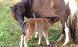 18 miniature horses filly and stallions. 225.00 and up Pg mares 600. Mares with babies 600. Bred mares325. More call or email