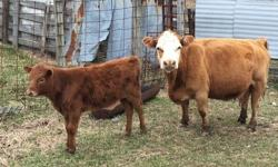 We currently have 2 heifer calves and 2 bull calves that are 1/2 miniature jersey for sale. They are sired by miniature jersey bulls. They are out of zebu or crossbred mini cows. Heifers are $1500 each and bulls are $750 each. For more info visit our