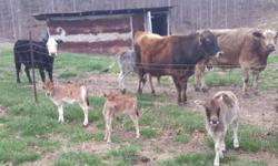 We have three heifer calves and several bull calves that are a cross of miniature jersey and miniature zebu. These are excellent for small and/or beginning farmers. This cross is hardy, heat tolerant, disease and parasite resistant. They are more