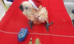 HOLLIDAY BABIES LITTLE BABY MOLLUCCAN COCKATOO..THE ULTIMATE GIFT BABY SUN CONURES BABY COCKATIELS TAME TALKING BLUE AND GOLD MACAW, WAVES HELLO AND GOODBYE ON COMMAND SUPER TAME ECTLECTUS PARROTS MALES AND FEMALES CALL TODAY 954-632-0863 ALL BIRDS FULLY