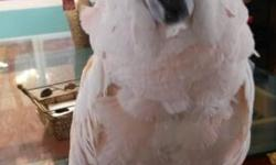 Hello, I have a 6 year old Moluccan cockatoo parrot that is in need of a new home. The bird is semi tame and would stand on your finger but will need an experienced bird person to work with him. Has not been dna sexed. Rehomong fee is $900. No cage