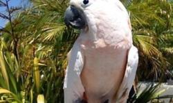 Beautiful feathers, banded male Moluccan Cockatoo. We purchased him at 5 months of age from breeder and he has been part of our family for 17 years. Loves to be the center of attention & entertain people. Friendly, speaks, does tricks, loves to be held