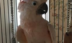Young, tame, gentle Moluccan Cockatoo. 16 years old. Comes with a large cage- 2 feet x 3feet x 5 feet tall with play pen on top. All toys, accessories and food. Very sweet and sociable and enjoys being handled. Does not speak, only says Hello. On pelleted