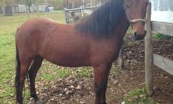 Morgan - Juan - Medium - Adult - Male - Horse Juan is a 14h, bay gelding born in 2002. He was rescued from a kill pen auction. Unlike others in this situation, he came with more history than we usualy expect to get. Juan was trained to drive both single