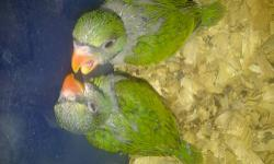 2 Baby Moustache (Java) Parakeets on 3 feedings a day 5 weeks old. Asking $325.00. Also looking for adults