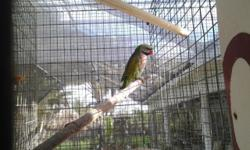 I have 2 baby Moustache parakeets 3 weks old still in nest, they will be on 3 feedings a day. $200 each. David 786-277-0234 FWC Licensed
