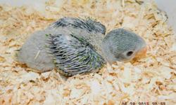 SOLD Thank-you Lindsey. Have more in the nest. Accepting deposit now to hold this little baby. Are excellent talkers and make great pets. Tested for PFBD, Chlamydia and Polyoma Vaccinated. Shipping weather permitted at buyer's expense. Visit my web site