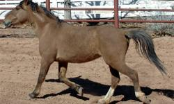 Mustang - Chewy - Medium - Adult - Male - Horse Chewy is a hardy, red-dun Mustang who was captured during an Oregon Bureau of Land Management roundup. However, his life took a pretty bad turn when his people didn't feed him properly, so local animal