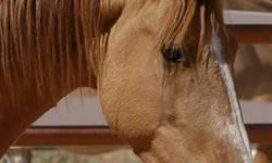 Mustang - Peanut - Medium - Adult - Male - Horse Peanut is a handsome, confident little liver-chestnut Mustang gelding who began life as a bottle-fed orphan. He's grown into a horse who loves games that challenge his active mind. Peanut actually knows a