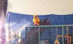 Looking for loving home for nanday and sun conure both males. Healthy come with there cages. Both friendly but will need time to adjust to adopted family. Price is 300.00 firm. Call me only no text messages or emails please. Thank you Alex This ad was