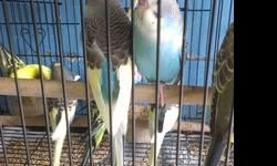 """Hand raised, talks, will step up.Is mature for breeding. He is about 8 years old. Has been Vet checked for good health. His name is """"Preety Bird"""" call 760 822 9355"""