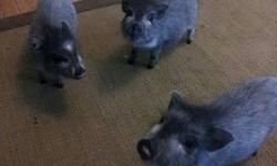 Nasha's Little Piggies has 2 females left for a loving home. These girls will be about the size of a small dog. Please view our web site Nashaslittlepiggies.weebly.com They are already house train to go potty outside but can use a pee pad if needed.