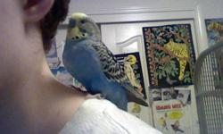 """This Cockatiel is 8-9 years old (giving him 11+ years if cared for well). He can say his name (Nipper) as well as many other things such as """"nummies"""" when given food or """"what are you doing?"""" when he becomes excited about new things. He will say """"out!"""""""