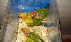**NEGOTIATIOABLE** My friend gave me his sun conure parrot birds bec of travel. First come first serve. They're on 2 handfeedings a day and they're 6 weeks old. They're tame, lovely, and friendly. These birds will sell very fast so first come first serve