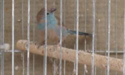 Great nests for canaries/finches available @ $2.50 each. Easy for setting up inside any breeding cages.