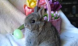 Netherland Dwarf baby Bunnies, very friendly, easy ti litter box train, can hold for Easter if paid for in advance, raised indoors with kids, dogs and cats, each bunny comes with a small bag of food and hay, SERIOUS INQUIRIES ONLY, NO E- MAILS, Call or