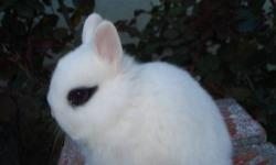 Adorable Little Netherland Dwarf baby Bunnies, smallest bunnies, only 2-2 1/2 lbs when full grown, very friendly, easy to litter box train, Can hold for Easter if paid for in advance, raised indoors with kids, dogs and cats, each bunnies comes with a