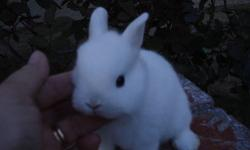 Adorable little tiny Netherland Dwarf Bunnies, Smallest bunny, only 2-2 1/2 lbs when full grown, very friendly, raised indoors with kids, dogs and cats, easy to litter box train, will hold for Easter if paid for in advanced, comes with small bag of food