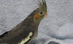 #2 NEW BABY ROSE BREASTED COCKATOO being hf now. # 1 NEW baby rose breasted cockatoo being hf now(SOLD) LOVE BIRD BABY peach face being hf now.(only one left)(ready 4-12-13) to go to new homes. COCKATIEL BABIES hf ready (4-12-13) to go to new homes 4 sold
