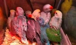 We have 20 to pick from! Here are our beautiful baby Indian ringnecks! Please PM for pricing! Northeast pa 18058. We will ship for $125 extra and that includes a brand new carrier! https://www.facebook.com/PoconoAna