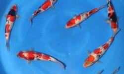 New Shippment Koi Spring 2013 over 2000 fish will be available this week 3/9/2013 for reserve - will be ready for sale when have done through our strictest quarantine - Dealers, please contact us for details and wholesale price Fish imported from japanese