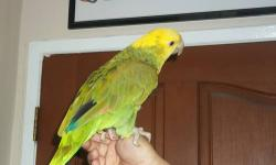 Nice and Beautiful Double Yellow Head Amazon also Hand Tame Serious inquiries only, Please call only or text, No Emails !