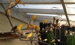 100+ breeding canaries need new homes. $20 and UP depending on colors. They are not only CHEAP but high quality birds.
