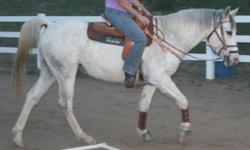 Grey Paint cross 5 yr, 16 hands, Gelding for sale. He is UTD on all shot, vet, farrier and wormed. This Gelding has been used for Trail riding, Barrel racing, Gymkhana, Team Penning, English and more. He loads in a trailer, stands for the Vet & Shoer and