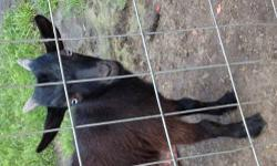 Nigerian Dwarf male goat. He is 6months old. Black with blue eyes. $50.00 Thanks, Pam 904/229-1605 This ad was posted with the eBay Classifieds mobile app.