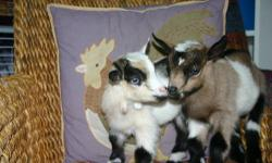 Beautiful Nigerian Dwarf babies! Born June 6, 2013. They will be ready to go to their new home in 7 weeks The little doe has blue eyes - stunning - $350.00 Beautiful buckling - tri colored - $300.00 as a buck .. $125.00 as a pet wether. Two more little
