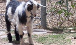 Nigerian Dwarf goat, wethered baby boy....shots, banded, dis-budded (de-horned), partially bottle-fed--wonderful little pet. $75 cash or Paypal.