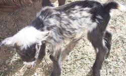 Nigerian goat baby boys, now being bottle-fed so they will make better pets. Pick yours now--only two left available. Have been dis-budded (horns removed) and wethered. Price $75, cash or paypal accepted.