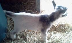 """Nigerian Dwarf goats with nice milk and show lines from farms such as: Chinook Winds, Deb P's, Good Measure, Pride of Texas, Promised Land, Twin Creeks... We have some """"working girls"""" who make up our milk team. Some of these registered does are in milk!"""