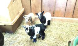 Nigerian Dward baby goats, 2 females $200 each, 1 male $100. Born November 2014, IDGR registered, petted daily. please CALL 615-696-1141, NO emails please.