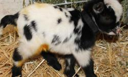 Nigerian Dwarf Goats Kids Are Here! Kids born in Nov and Dec 2014! Breeding quality Nigerian Dwarf goat does and Nigerian Dwarf goat bucks for sale. Amber Waves is a small private breeder established in 1982 and located in beautiful Southern California.
