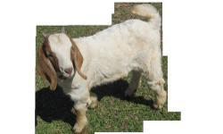 2 goats ( billies) 5 mos. old dad was nigerian dwarf mix mom nigerian dwarf. $ 75 each or both $130. ( Beulah / Valley AL.)